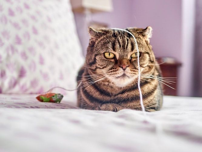 tabby cat lying on a bed and looking grumpy